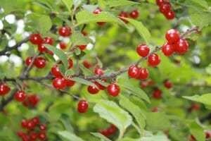 Nanking cherry bush with beautiful small red tart cherries.