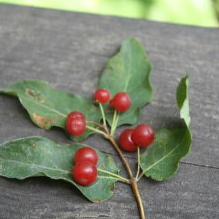 Red Berries – Edible or Not Edible?