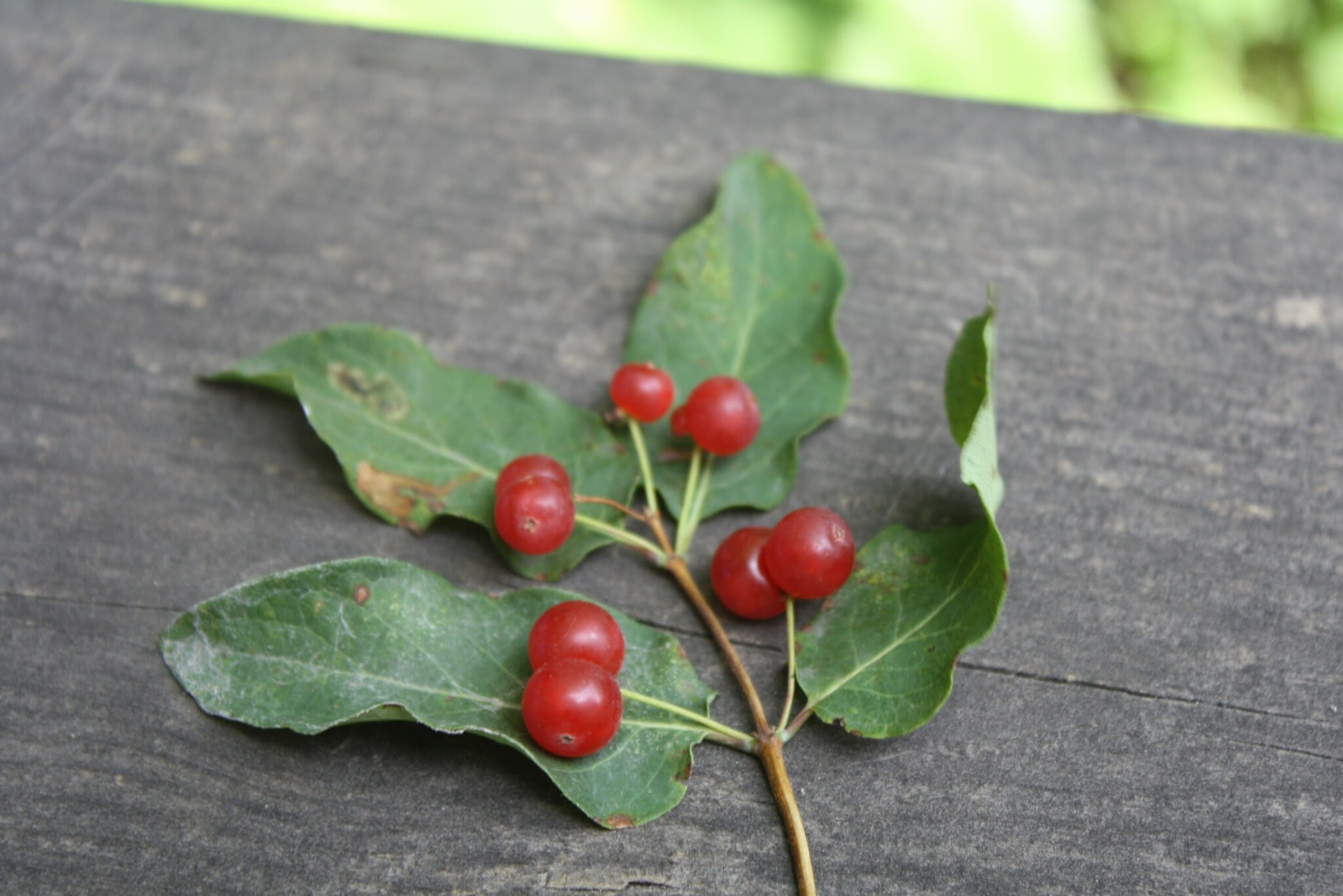 Red Berries - Edible or Not Edible?