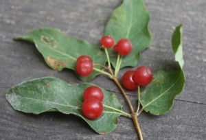 Tartarian or bush honeysuckle paired red berries not edible