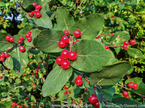 Red Berries Edible Or Not Edible Gettystewart Com