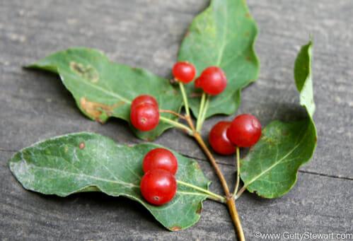 Red Berries Edible Or Not Edible Gettystewart Com