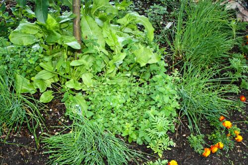 Nice ... Herbs. Sorrel, Chives, Oergano