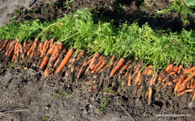 Carrots Sept 30