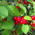 Nanking Cherry Liqueur