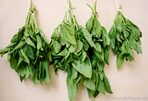 Drying Basil Successfully Can Be A Little Tricky It Has Very Sensitive Leaves With High Oil Content That Is Slow To Dry And Easily Turns Dark