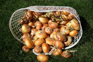 harvesting and curing onions