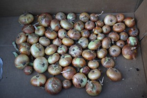curing or drying onions