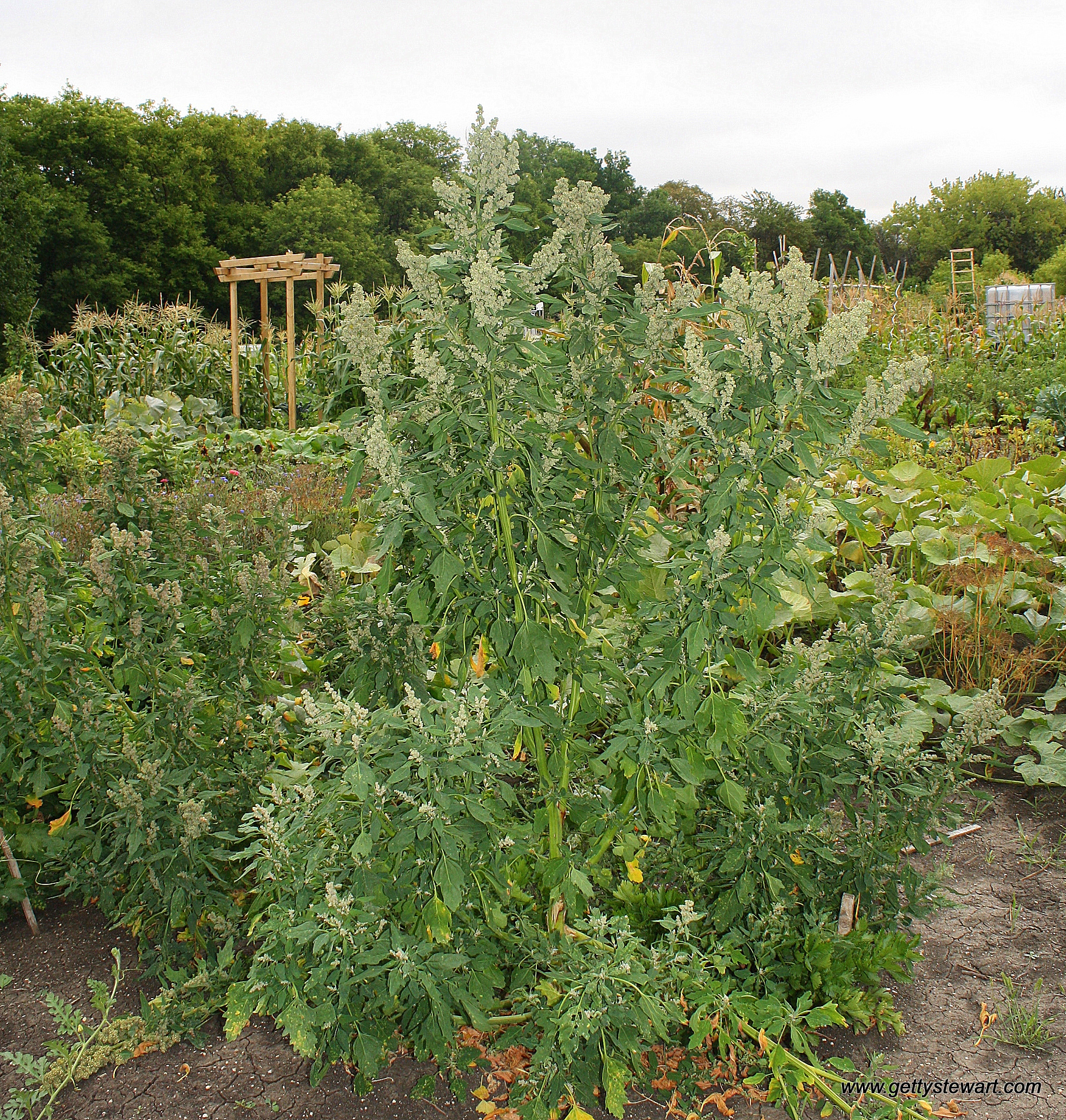 How To Grow Quinoa In My Garden Gettystewart Com