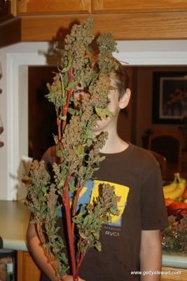 quinoa stalk