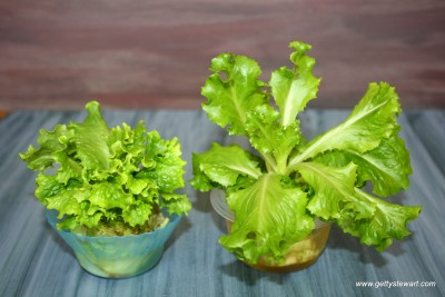 romaine and leaf lettuce grown from a stem
