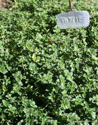 thyme early summer