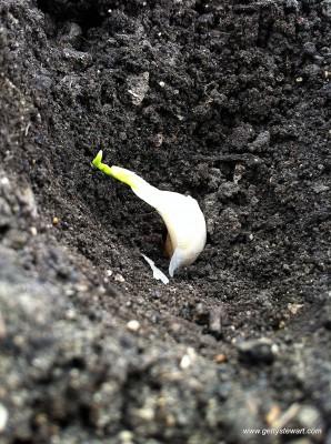 garlic bulb planting