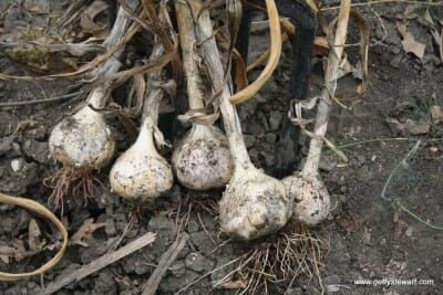 how to plant garlic in the fall. Black Bedroom Furniture Sets. Home Design Ideas