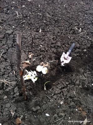 planting garlic 2014 spring