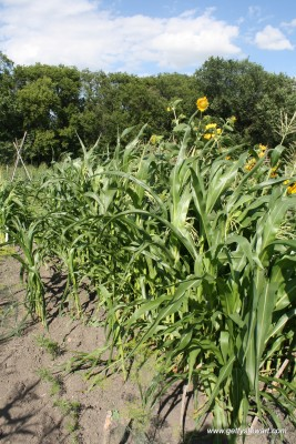 growing sweet corn