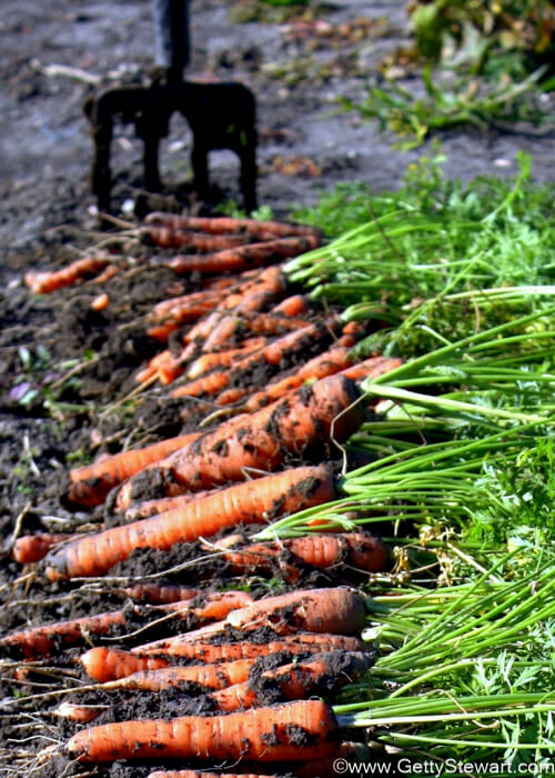 How To Plant Carrots Getty Stewart