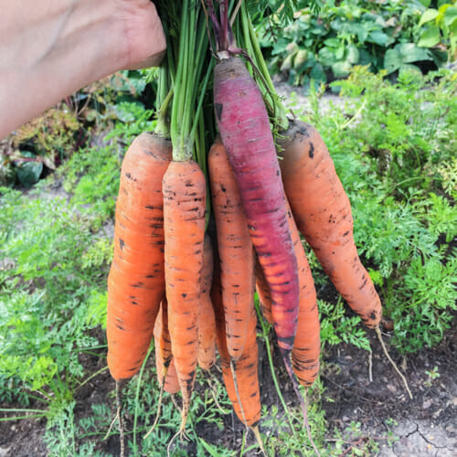 How To Plant Carrots
