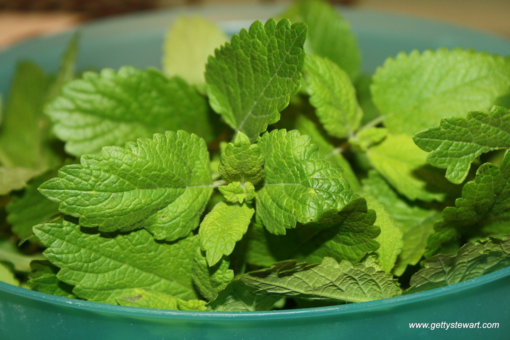 How to Harvest and Dry Lemon and Lime Balm - Getty Stewart