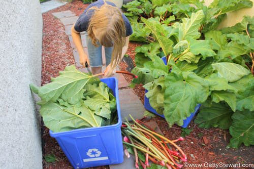chopping leaves off rhubarb