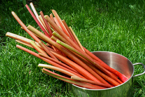 rhubarb stalks in pot on grass