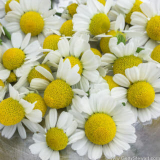 How and When to Harvest Chamomile