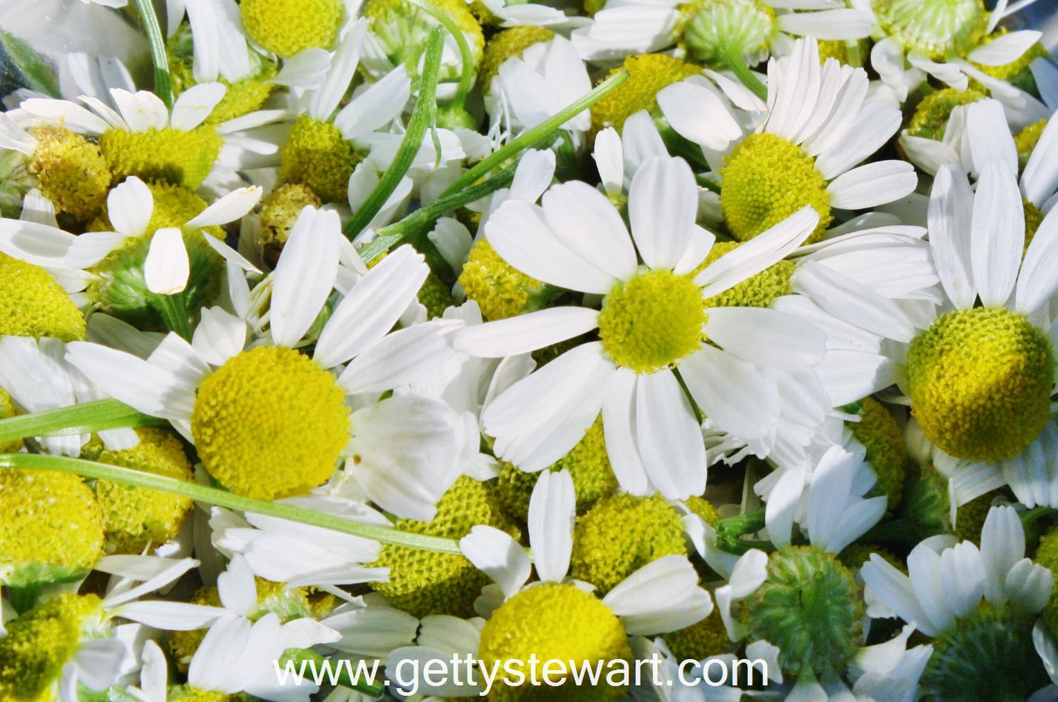 How and When to Harvest Chamomile Getty Stewart