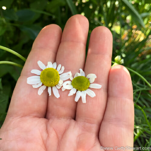 how to pick chamomile