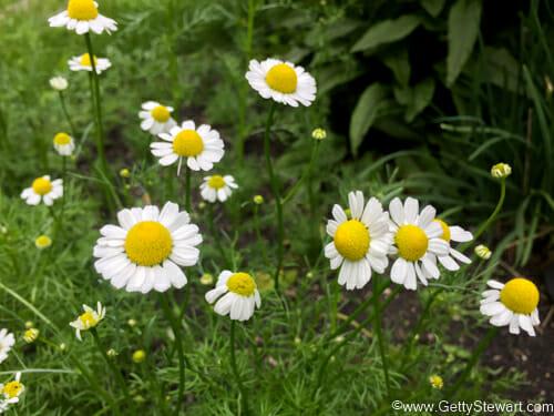 chamomile in garden