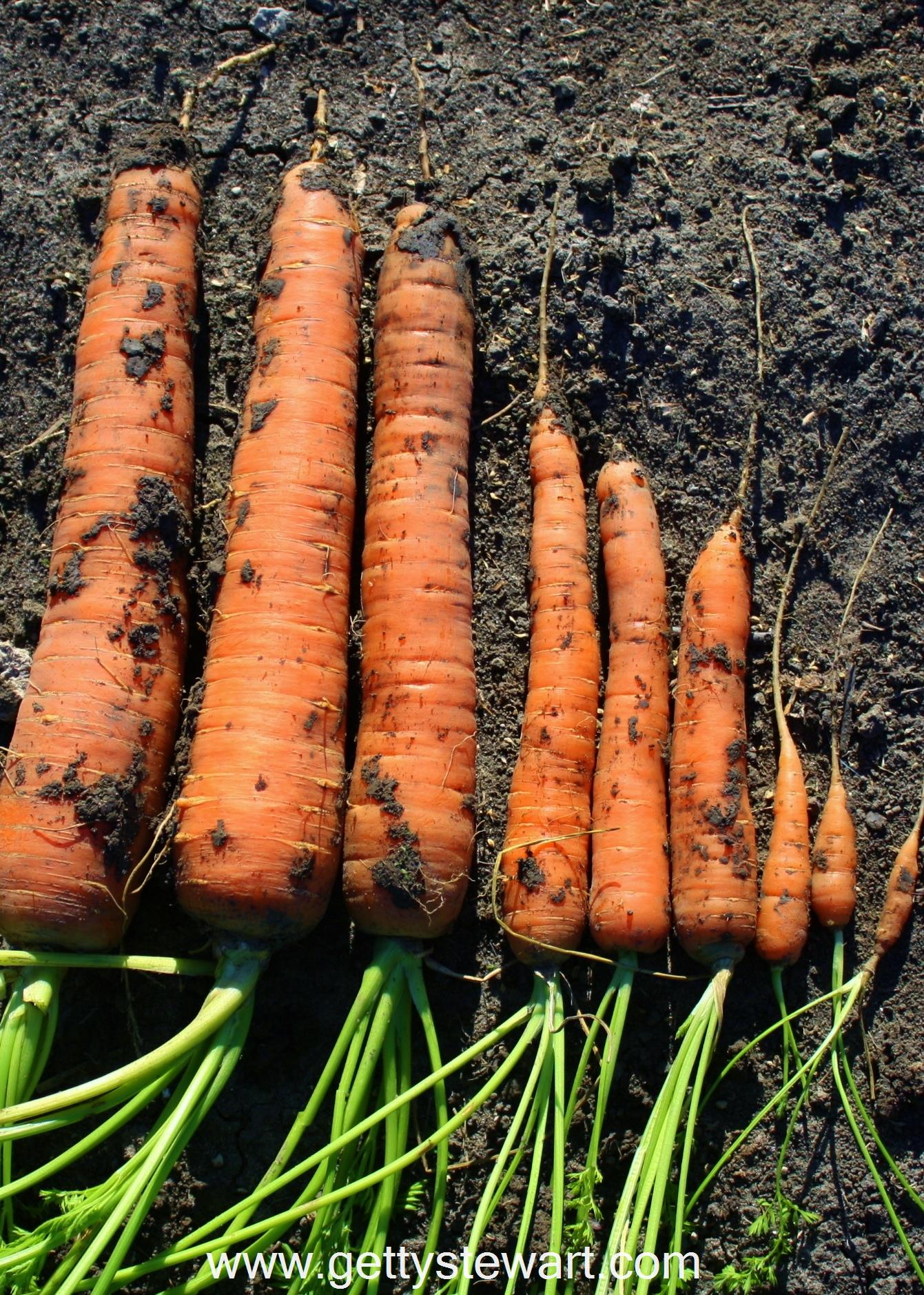 Carrot sowing under winter: basic rules