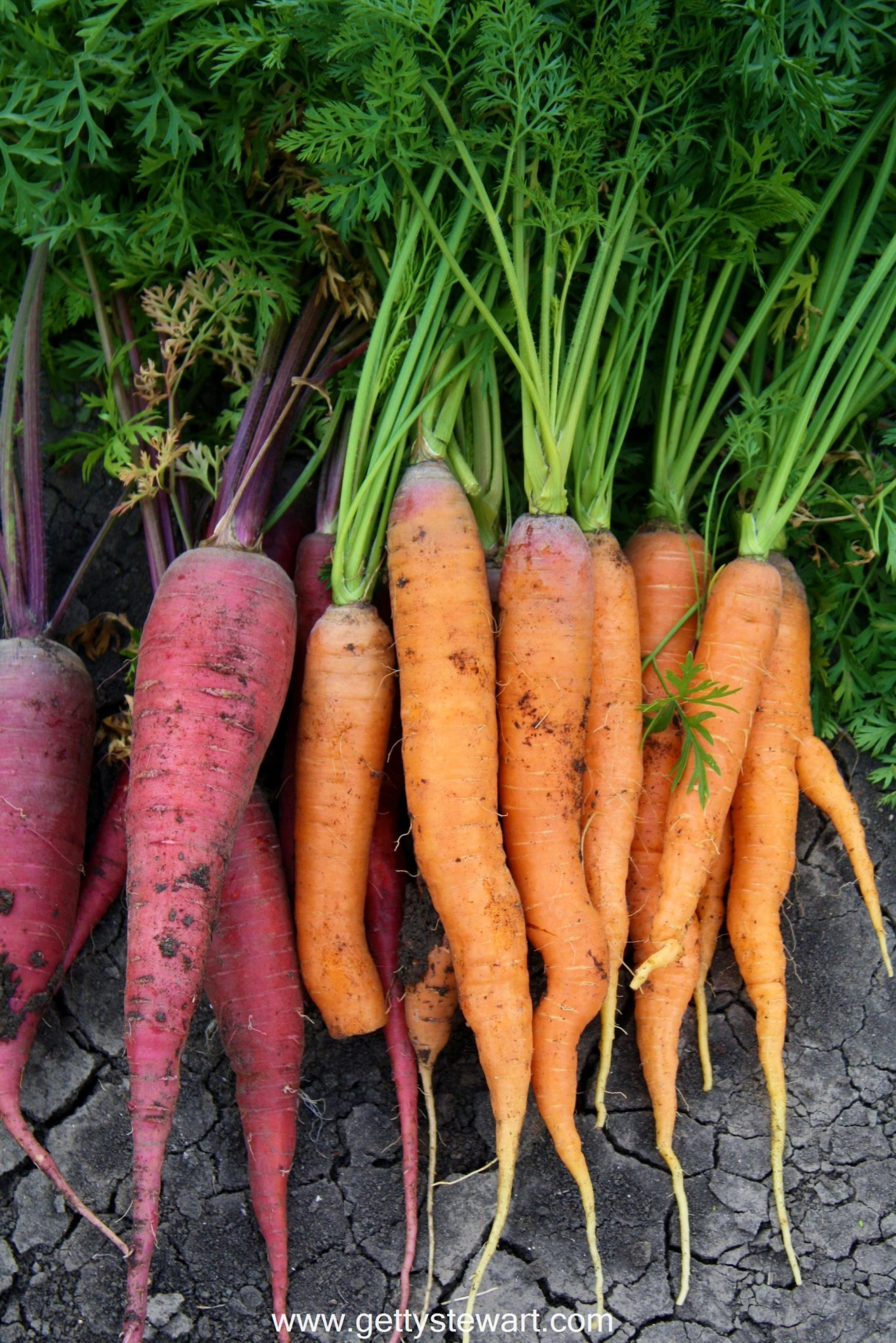 How to Harvest and Store Garden Carrots Getty Stewart