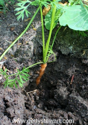 orange carrot in ground