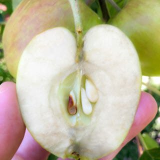 How to tell when apples are ripe and ready to pick?