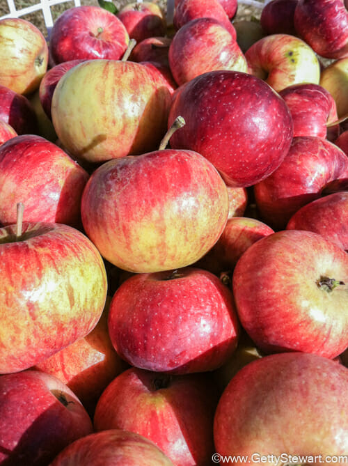 red fall apples