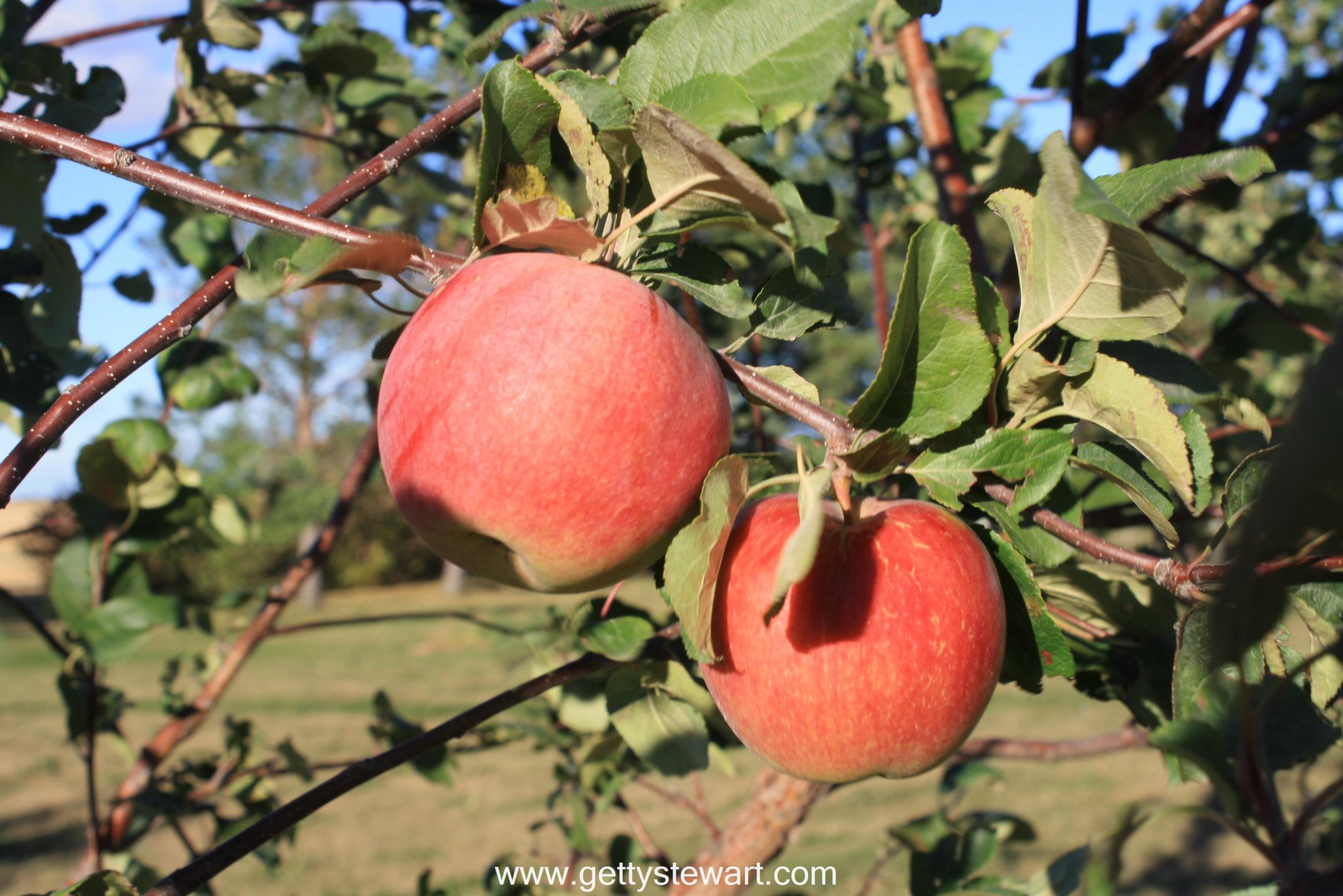 How to tell when are apples ripe and ready to pick?