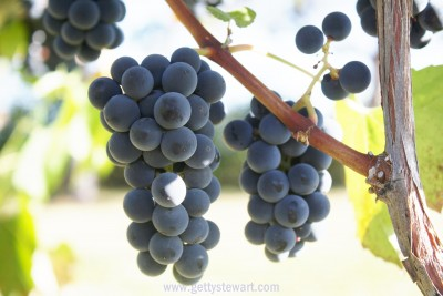 blue grapes - watermarked