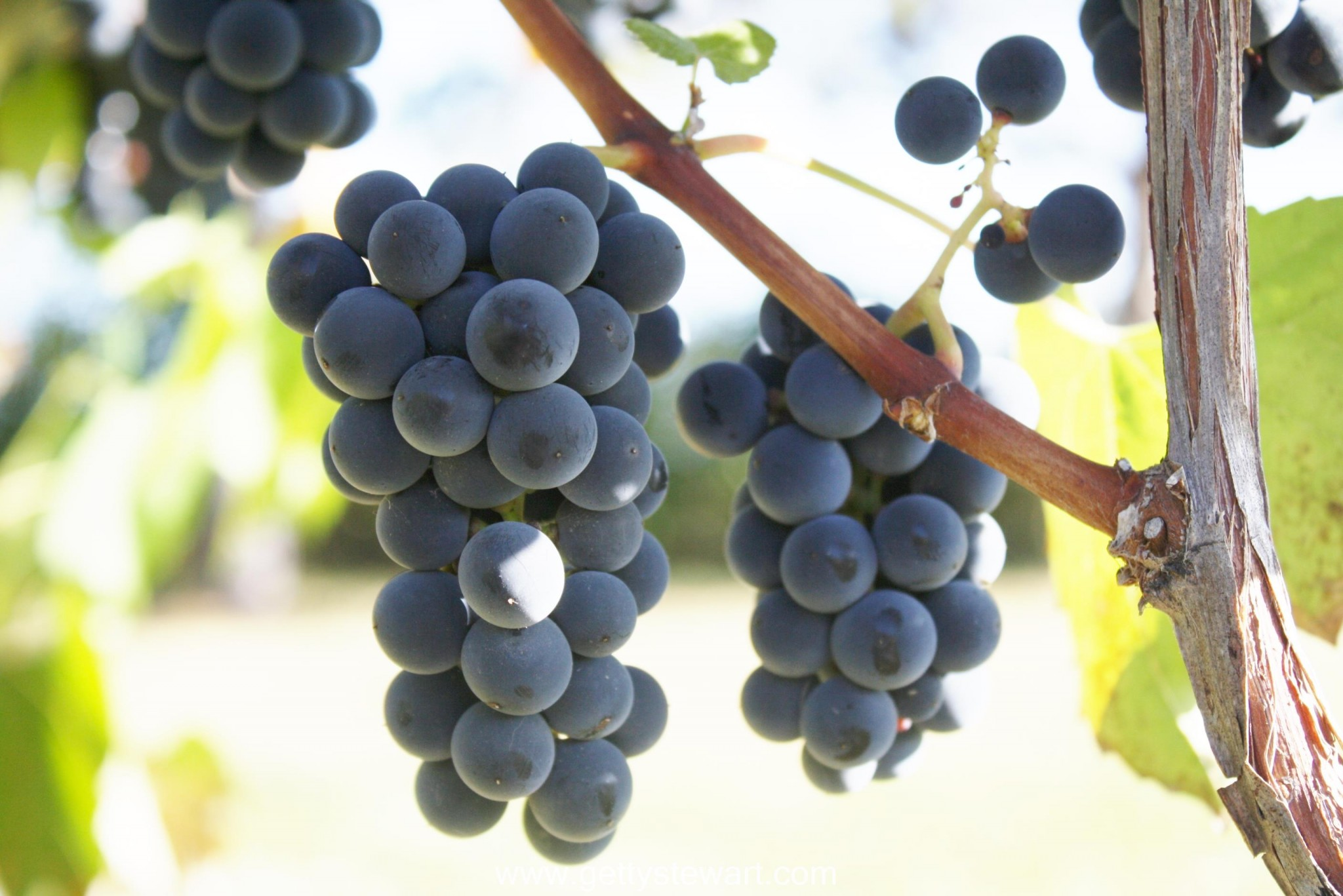 How and When to Harvest Grapes