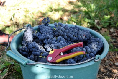 bucket of grapes - watermarked