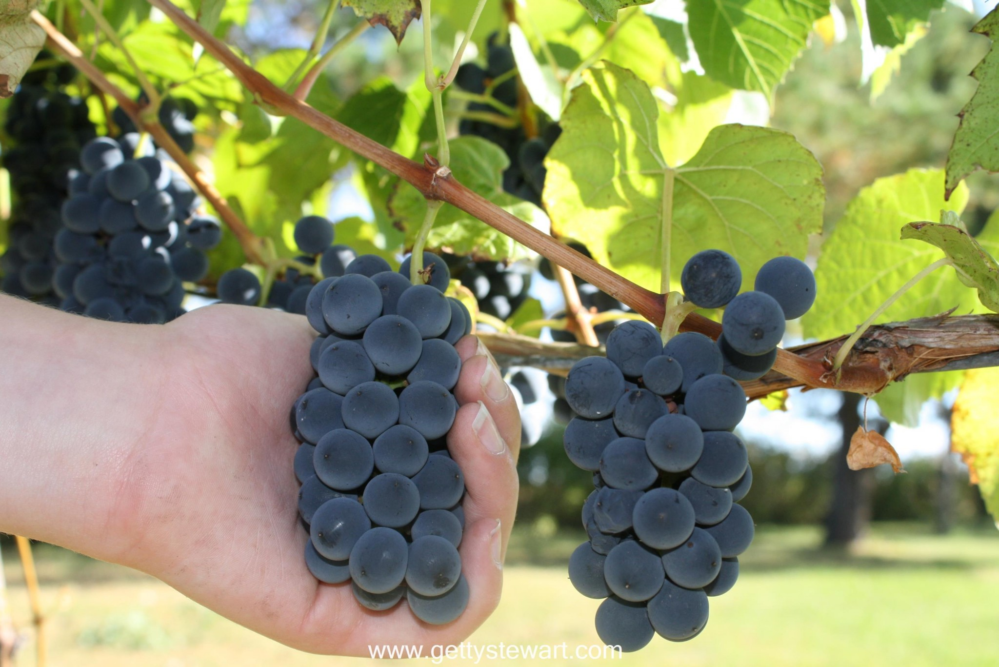 how and when to harvest grapes gettystewart com