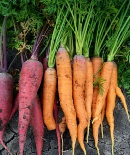How to Harvest and Store Garden Carrots