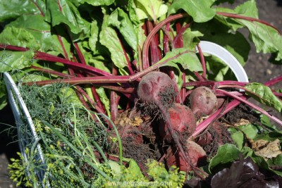 beet harvest - watermarked