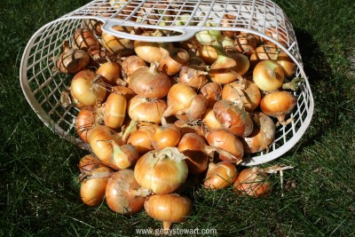 onion harvest - watermarked