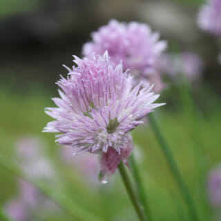 How to Prune Chives – Removing the Blossoms