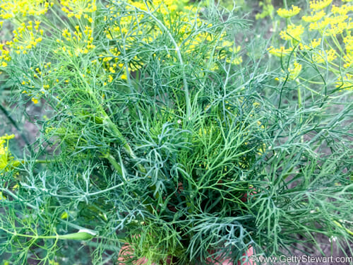 Good Here In Winnipeg, Mid To End Of July Is A Good Time To Harvest Dill. I Know  You Might Be Tempted To Wait Until The End Of The Garden Season So Your ...