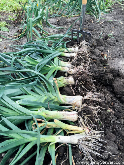 fall harvest of leeks