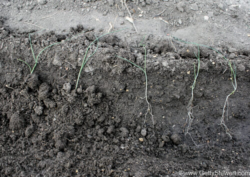how to plant leeks cover roots