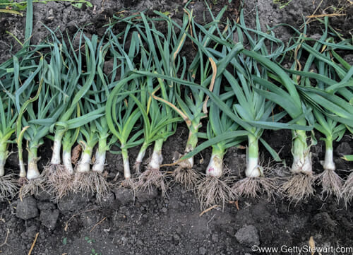 leeks harvested full row