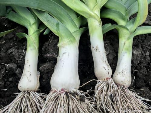 how to plant leeks in the garden gettystewart com