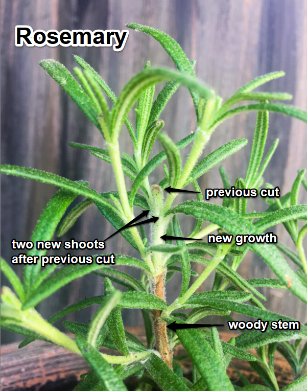 rosemary pruning explained