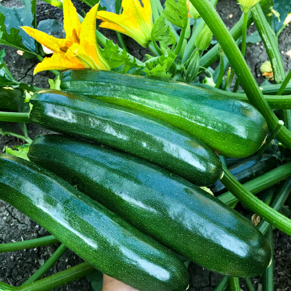 How To Freeze Zucchini And How To Use It Gettystewart Com